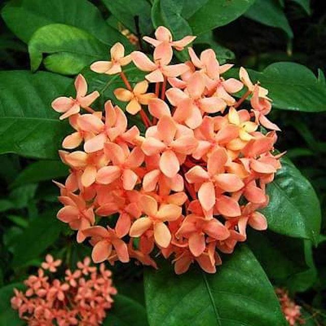 Flowers Nurserylive Ixora Dwarf  1