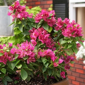 10 Best Flowering Plants in India 2021 (Damascus Rose, Kalanchoe, and more) 4