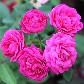 10 Best Flowering Plants in India 2021 (Damascus Rose, Kalanchoe, and more) 3