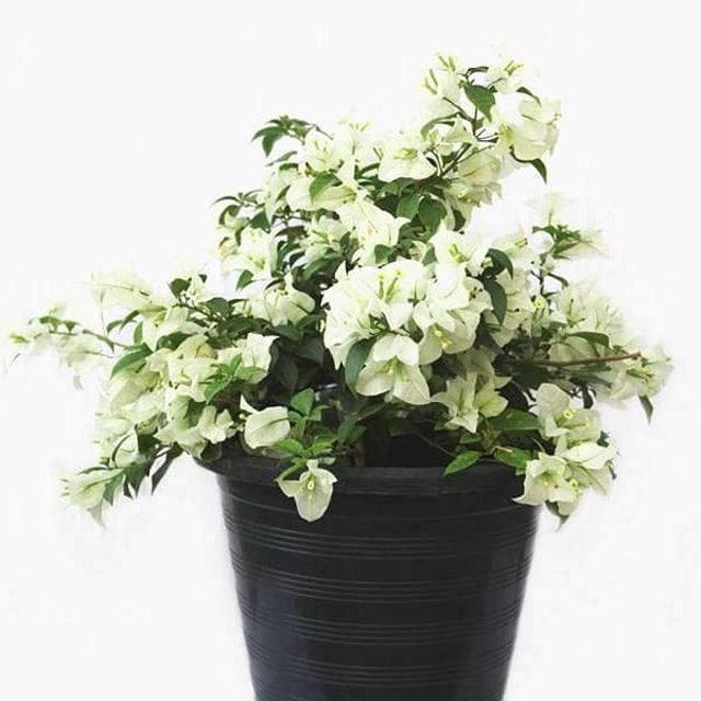 Flowers Nurserylive Bougainvillea 1