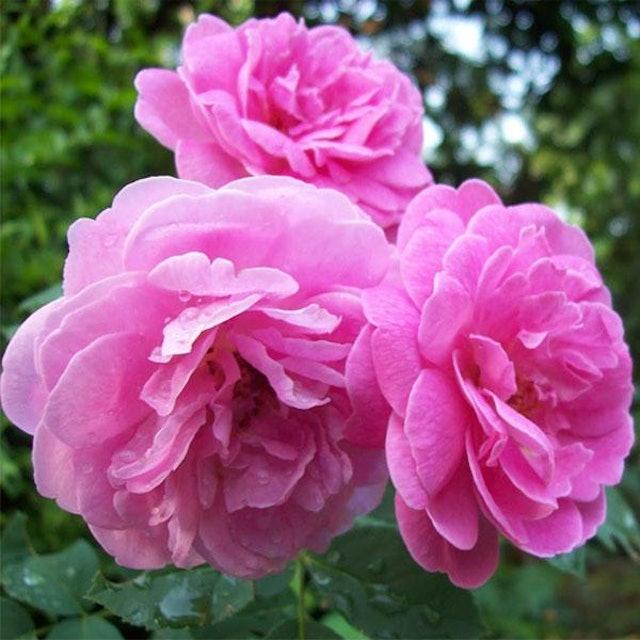 Flowers Nurserylive Damascus Rose 1