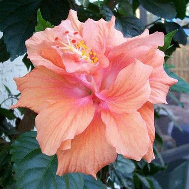 Flowers Nurserylive Hibiscus 1