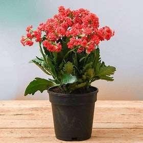 10 Best Flowering Plants in India 2021 (Damascus Rose, Kalanchoe, and more) 1