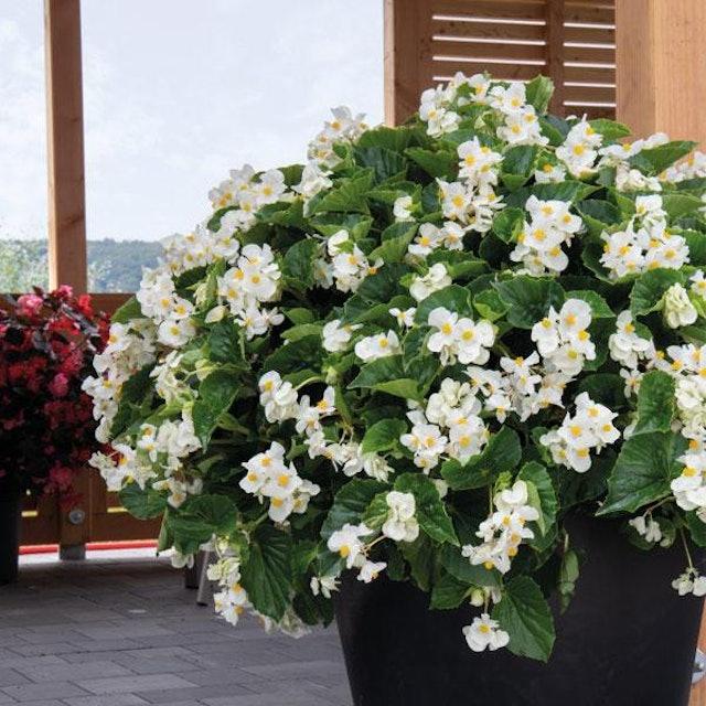 Flowers Nurserylive Begonia  1