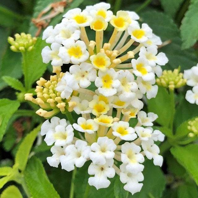 Flowers Nurserylive Lantana Camara  1