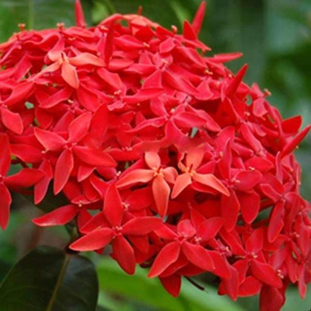 Flowers Nurserylive Ixora Long 1